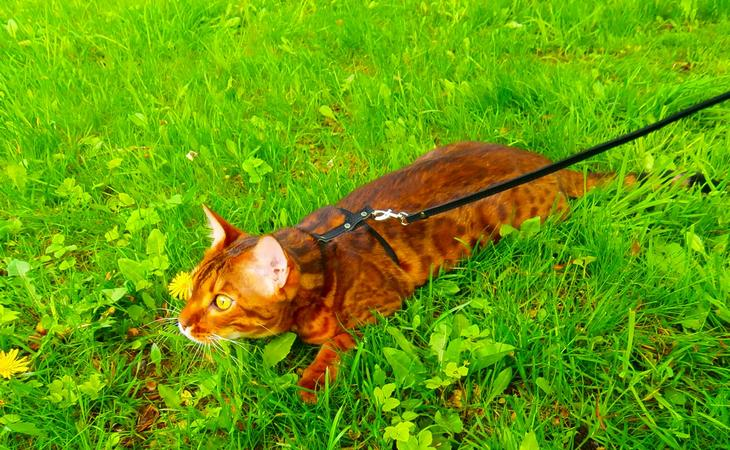 Как гулять с кошкой на шлейке