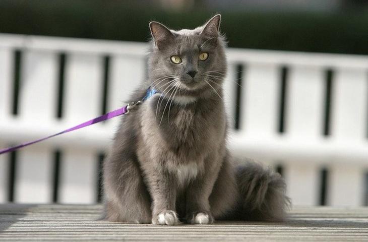 Как приучить кошку к шлейке