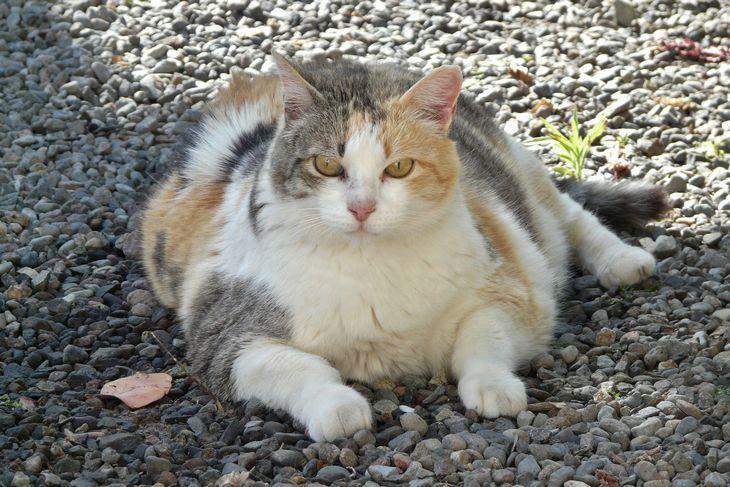 Ожирение кота от сгущенного молока