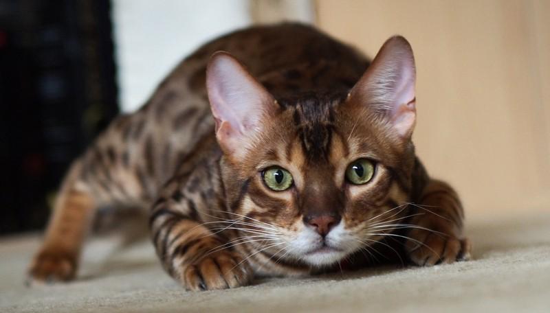 Характер бенгальской или леопардовой кошки
