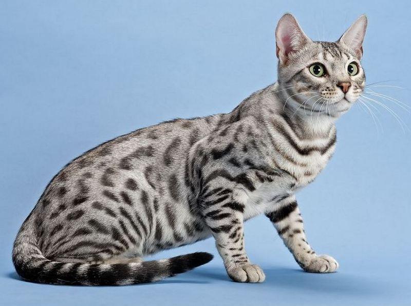 Окрас бенгальской или леопардовой кошки