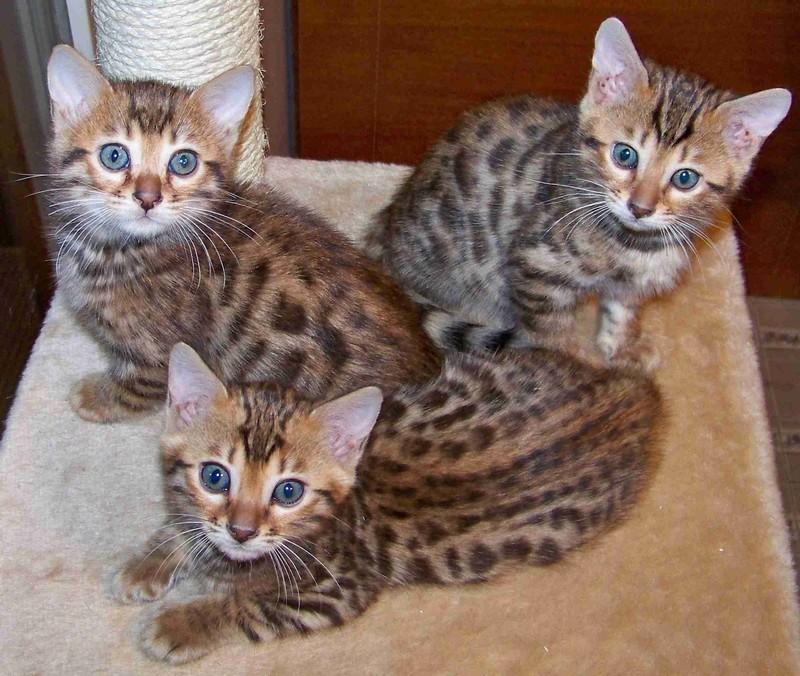 Котята бенгальской или леопардовой кошки