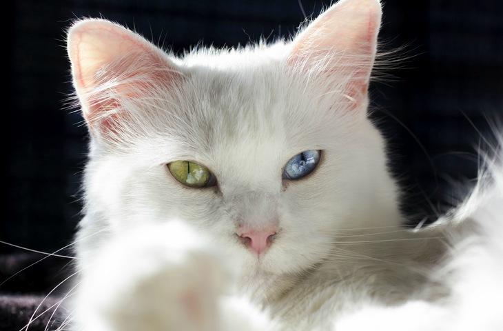 Фото разноглазой кошки
